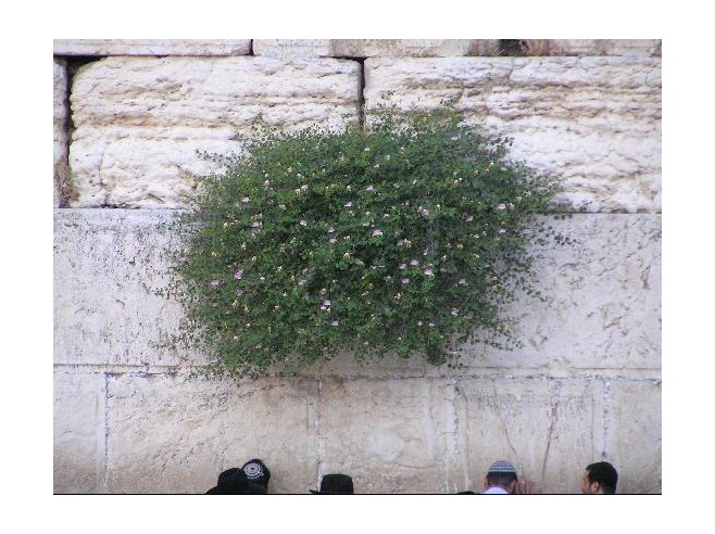 Las plantas del Muro de lasLamentaciones